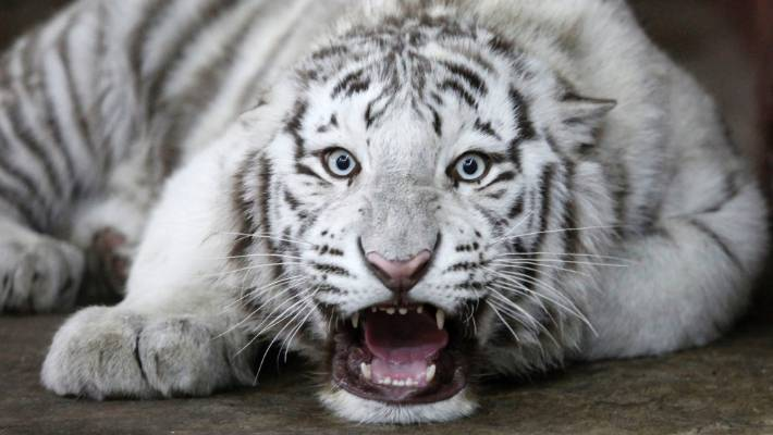 keeper mauled to death by white tiger cubs stuff co nz