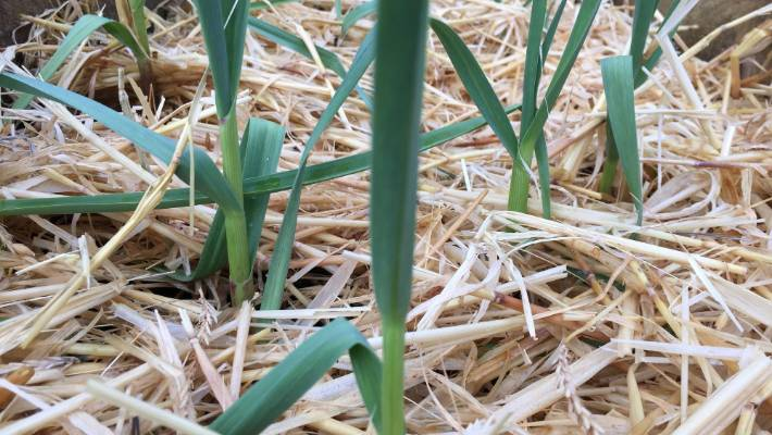 A manure tea can help in the production of nicely rounded, plump garlic bulbs.