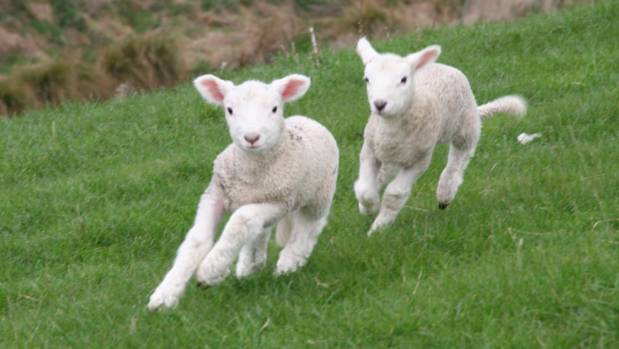 With a little care, ailing newborn lambs are back on their feet.
