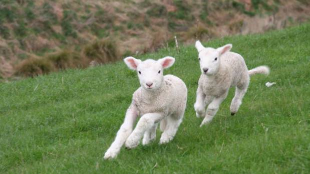 New lambs stretch their legs.
