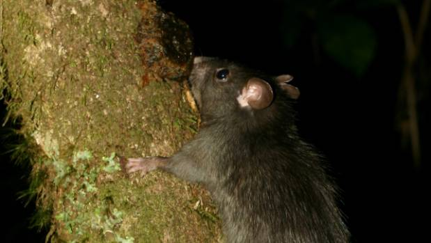 Rats are considered one of the top three predators in New Zealand, and are one of the targets for the Predator Free 2050 ...