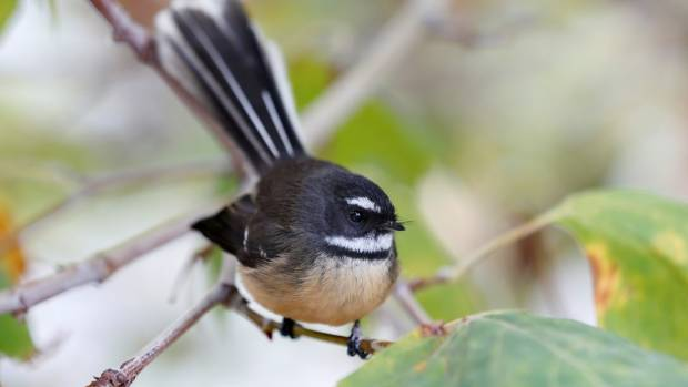 With no predators, would New Zealand's native birds, lose their survival tendencies? (File photo)