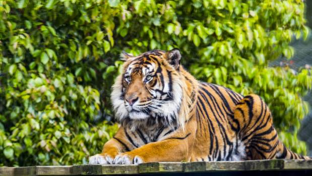 One of five tigers at Hamilton Zoo in the revamped enclosure.