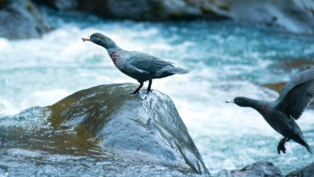 DOC is getting tough on errant dog owners to protect the 100 endangered whio (blue ducks) living in the Waiwhakaiho ...