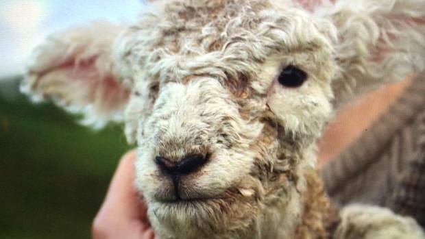One of the Spring lambs being looked after at The Black Sheep animal sanctuary in Ōtaki and is now dealing with the mud ...