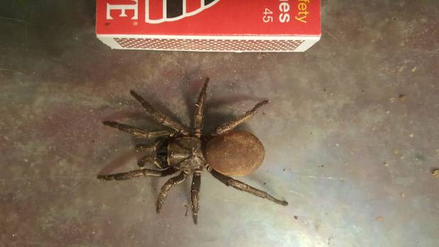One of the trapdoor spiders unearthed by Helen Morgan at her Motueka property.