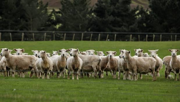 Ewes on Glengordon Farm.