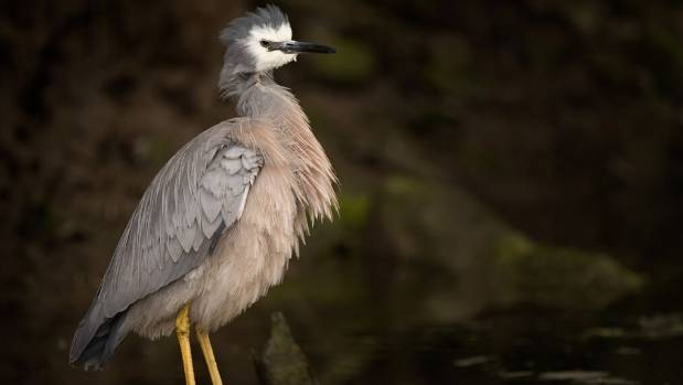 The bird at the centre of the scandal, the white-faced heron.