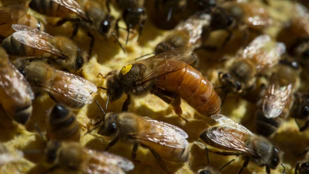 Over-stocking occurs in apiculture when large numbers of bees are forced to compete for nectar and pollen because there ...