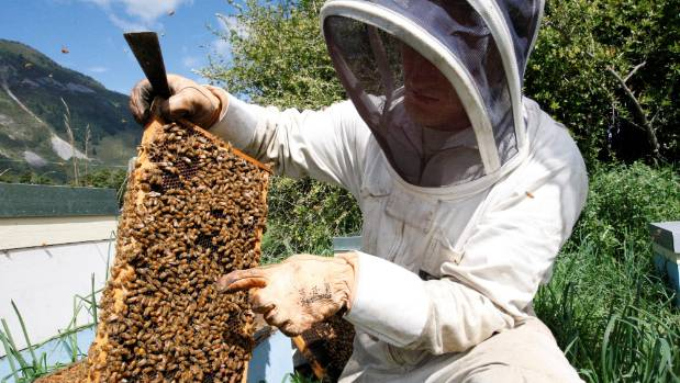 Golden Bay beekeeper Lucien Schroder points out the Queen Bee in the hive.