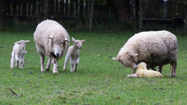 Lambing time - the Southland ewe on the right has just given birth to the large single lamb and the twins on left are ...