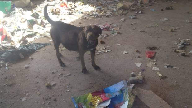 One of the dogs amongst rubbish and faeces inside the house