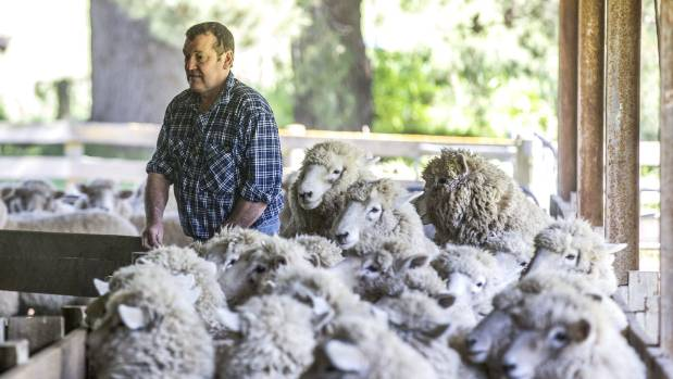 Waimate Shears Spring Society president Warren White rounding up sheep ahead of the Waimate Shears event held this weekend.