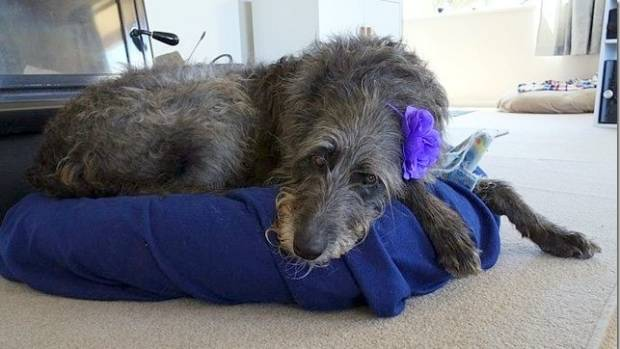 Skye dreams of being a fairy princess. A 48kg Scottish Deerhound might stretch the stereotype, but we live in modern times.