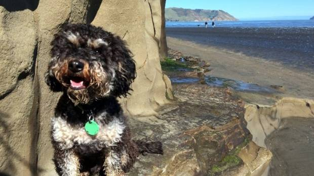 Wilbur steals the scene. He's a five-year-old cavoodle who 'loves stealing socks, eating the cats' leftovers and running ...