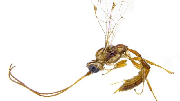 This wasp shares a name with a much-maligned Harry Potter character.