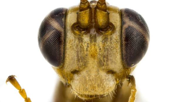 While it wears the Hufflepuff colours, this wasp is a Slytherin at heart, using other animals as part of its life cycle.