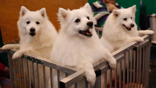 Japanese spitz at the Crufts Dog Show in England in 2015. (File photo)