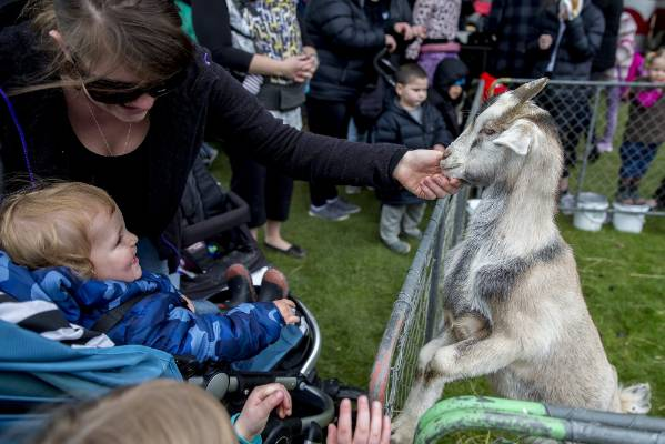 A curious goat gets some attention.