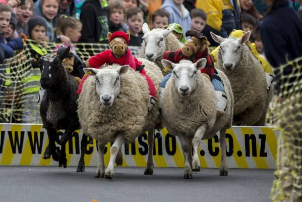 Sheep Racing.