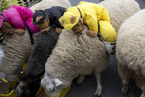 Sheep with their monkey jokeys.