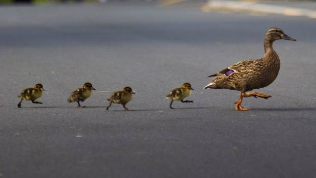 A woman copped abuse on Facebook after driving over a family of ducks during a sneezing fit. (File shot)