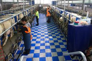 Spring Sheep Milking Company's new sheep milking farm at Cambridge will have a low lying 2x24-stall milking parlour, ...