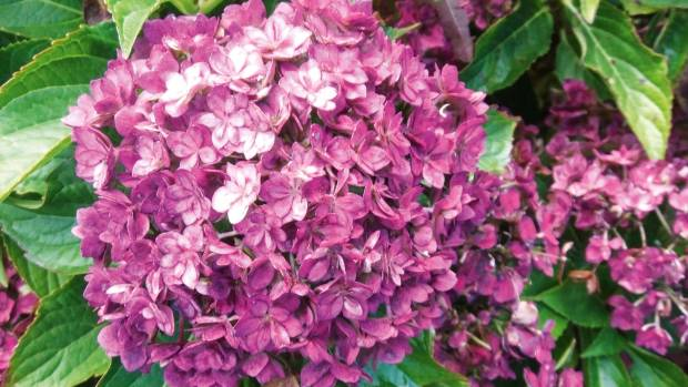 Hydrangeas varieties propagation care pruning stuff h macrophylla together is a mophead type that produces hundreds of double star mightylinksfo