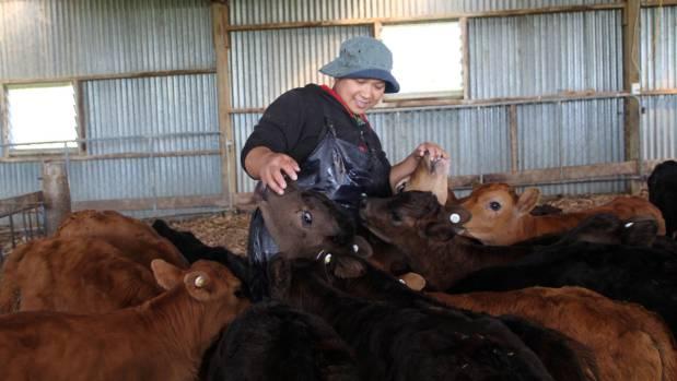 Calf rearer Shirley Cathcart amongst the limousin-dairy cross calves.