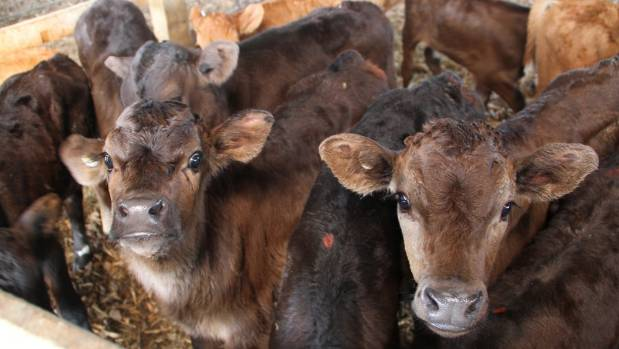 Limousin-dairy cross calves in the shed.