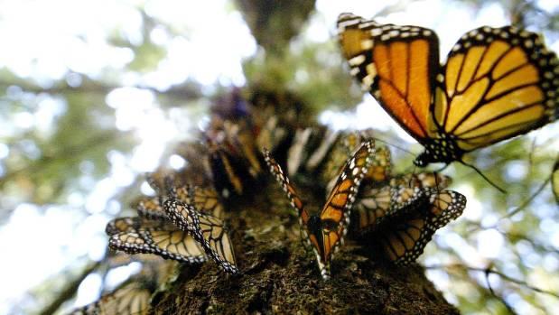 Misplaced Monarchs Clusters Of Butterflies Stuck In