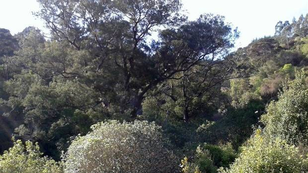 Kelly's Bush, a 7-hectare remnant of Nelson lowland forest within the city boundaries, is being opened to the public on ...