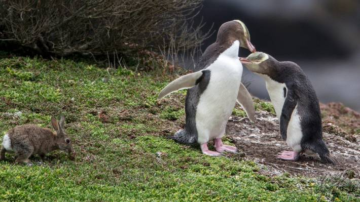 Marching Toward Extinction Yellow Eyed Penguin Die Off May Have