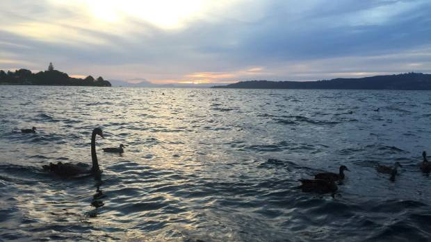 Black swans and ducks are silhouetted against a Lake Taupō sunset.