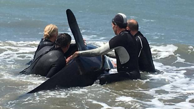Incredible video shows New Zealand Army help save stranded orca