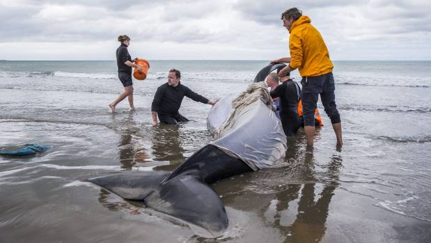 Stranded orca saved by New Zealand soldiers