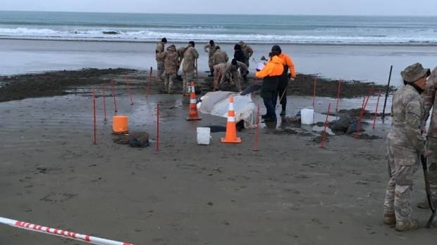 Army helping refloat stricken orca whale stranded on Marlborough beach