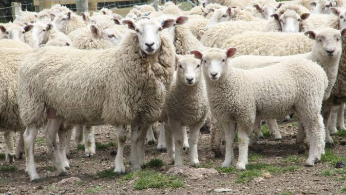 Lamb and mutton prices approach record territory on back of