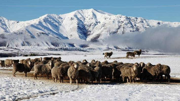 Merinos which occur in drier parts of the country, at feed out time today on Balmoral Station, Mackenzie Country.