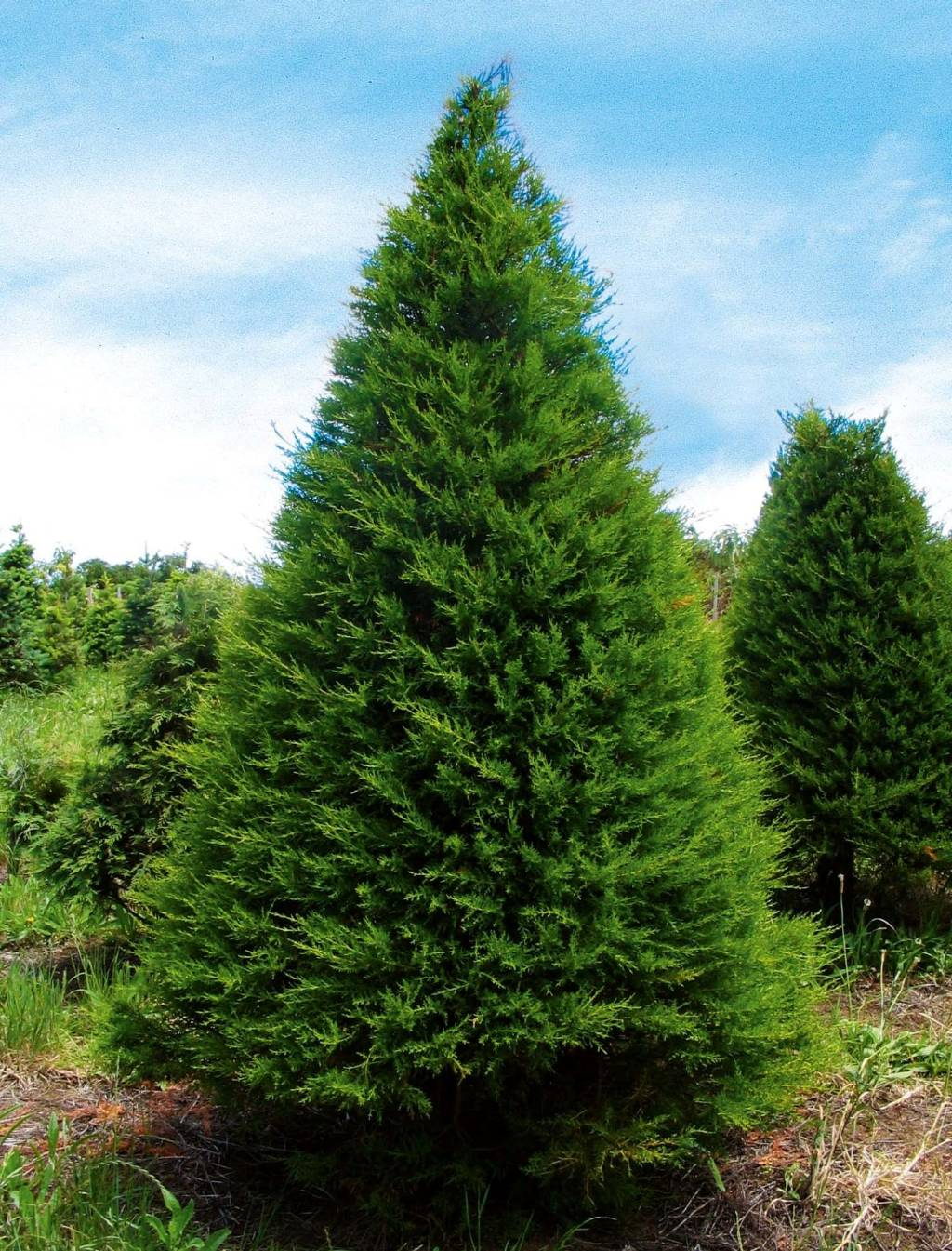 Macrocarpa (Cupressus macrocarpa) grow readily in New Zealand. And while a long way