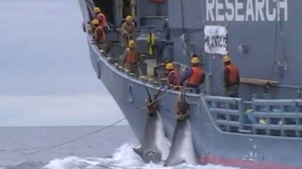 Graphic Japanese whaling footage released after five-year legal battle