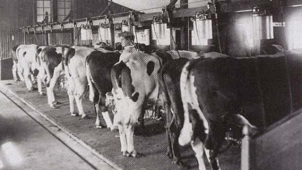 The First Mechanised Milking System For Dairy Cows Was Invented By New Zealand Farmer Norman