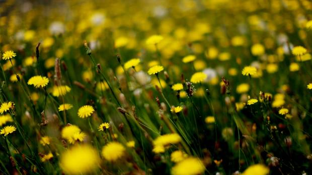 New Zealand is already one of the worst places for hay fever, but it could be getting worse.