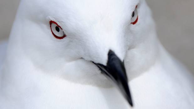 The world's most threatened gull calls New Zealand home, but most