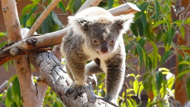 Scientists eye genome mapping to help chlamydia-stricken koalas