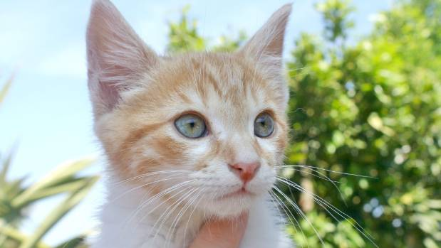Kitten Ginger Snap is under the care of the SPCA after he was discovered with a badly injured leg that had to be amputated.