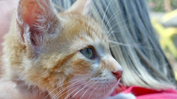 After a rough start in life, kitten Ginger Snap has recovered under the care of the SPCA and is in foster care .