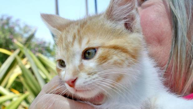 Foster kitten Ginger Snap has recovered well under the loving care of SPCA foster mum Yvonne Davies.