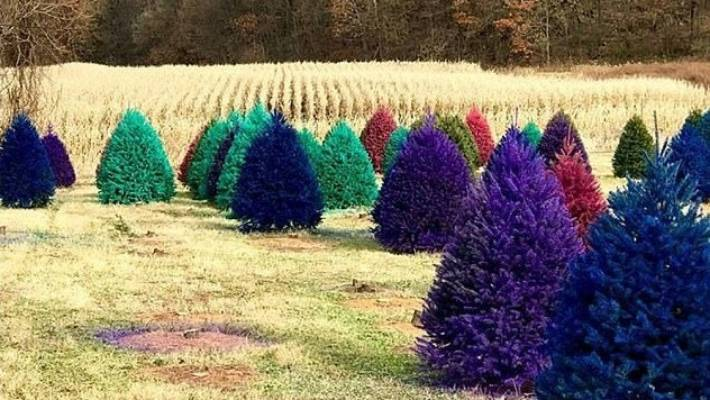Wyckoff's Christmas Tree Farm has such a demand for coloured Christmas trees,  it often sells - Who Says Real Christmas Trees Must To Be A Traditional Green