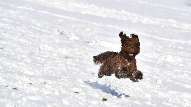 A dog plays in the snow on the slopes of Stormont in Belfast Northern Ireland